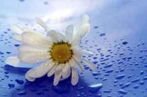 daisies8